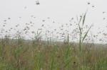 潍坊峡山水库附近多个村遭蝗灾侵袭 飞蝗漫天乱飞 - 半岛网